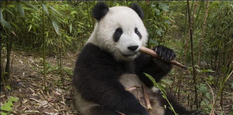 En 2003, il y avait plus de pandas géants en liberté qu'en 2015.