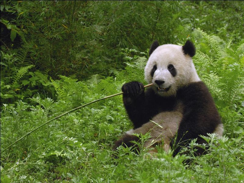 Il se nourrit surtout de bambou.