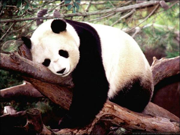En Chine, tuer cet animal était passible de la peine de mort.