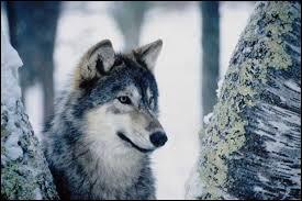 Le loup est un animal qui vit en meute dans les montagnes. C'est aussi...