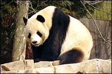 Chez les pandas, l'espérance de vie en captivité est de 26 à 30 ans.