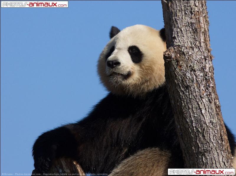 Jia Jia est décédé le 22 août 2012 à l'âge de 37 ans, ce qui fait de lui le panda à avoir vécu le plus longtemps.