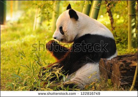 Le panda est un mammifère.