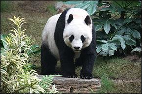 Le panda géant vit en Australie.