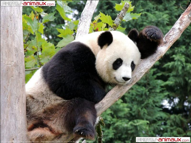 Le panda possède six doigts.
