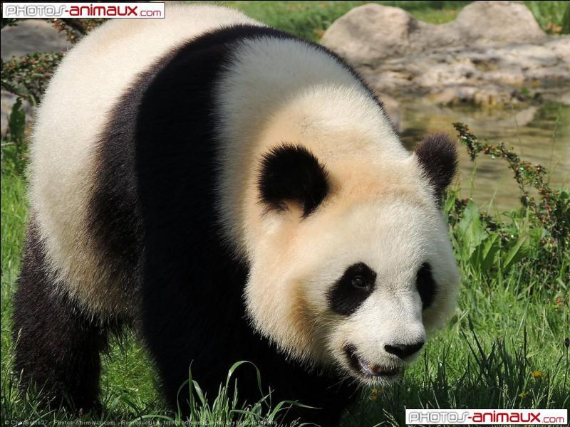 Les pandas possèdent 25 dents.