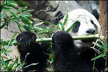 Cet animal a de puissantes dents pour broyer les bambous.