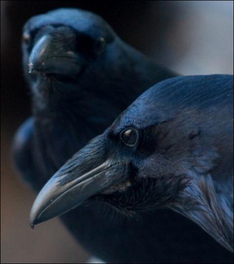 Vous n'allez pas me croire, mais ces oiseaux, les corbeaux, sont capables de réfléchir !