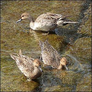 Pourquoi les oiseaux nageurs ne se mouillent-ils pas ?