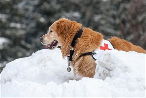 Utile aux secours en montagne, quelle est la race de ce chien d'avalanche ?