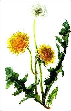 Quelle plante à fleurs jaunes, également appelée dent-de-lion, doit son nom à ses vertus diurétiques ?