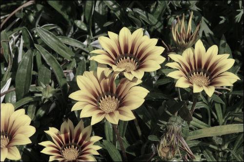 Avez-vous la main verte ? Quel est cet arbuste aux jolies fleurs jaunes, à arroser très peu ?