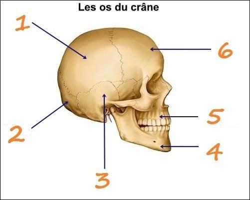 Quel mot désigne l'os n°2 ?