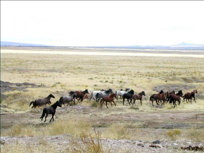 Quel est le nom de ces chevaux sauvages du continent Nord Américain, qui sont souvent rattachés aux Indiens, et ont été des acteurs indispensables de l'histoire de la conquête de l'Ouest. ?