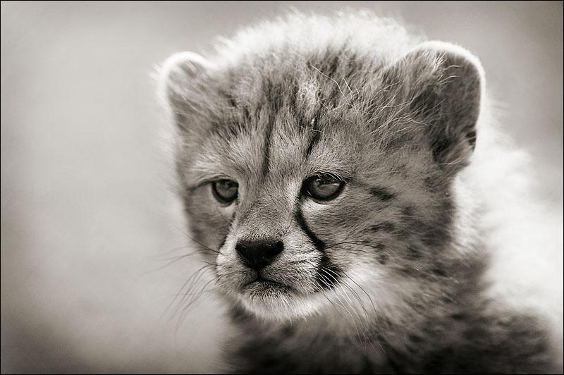 Quel est ce bébé qui deviendra le plus rapide des animaux sauvages ?
