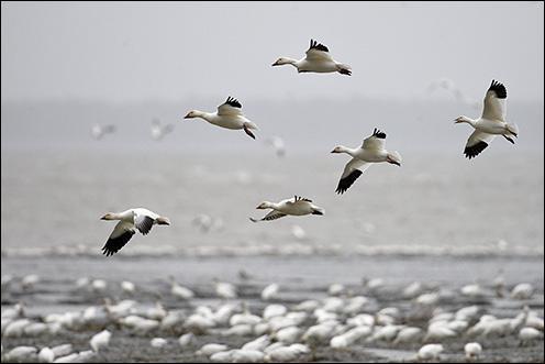 """Qui chantait """"Par-dessus l'étang, soudain j'ai vu passer les oies sauvages..."""""""