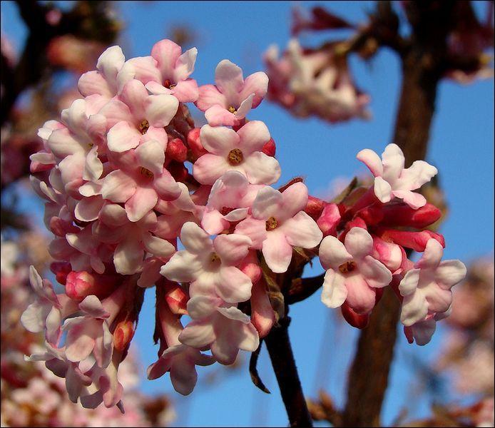 Cet arbuste magnifique et très parfumé donnera une couleur printanière à vos haies durant la saison froide, quel est son nom ?