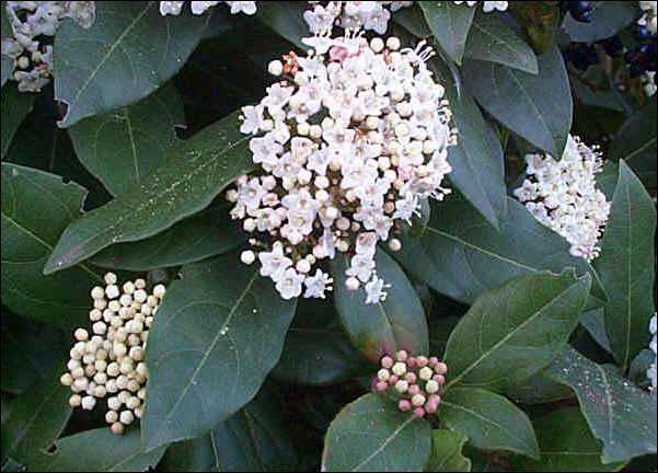 Encore une idée pour garnir vos haies avec cet arbuste à fleurs blanches :
