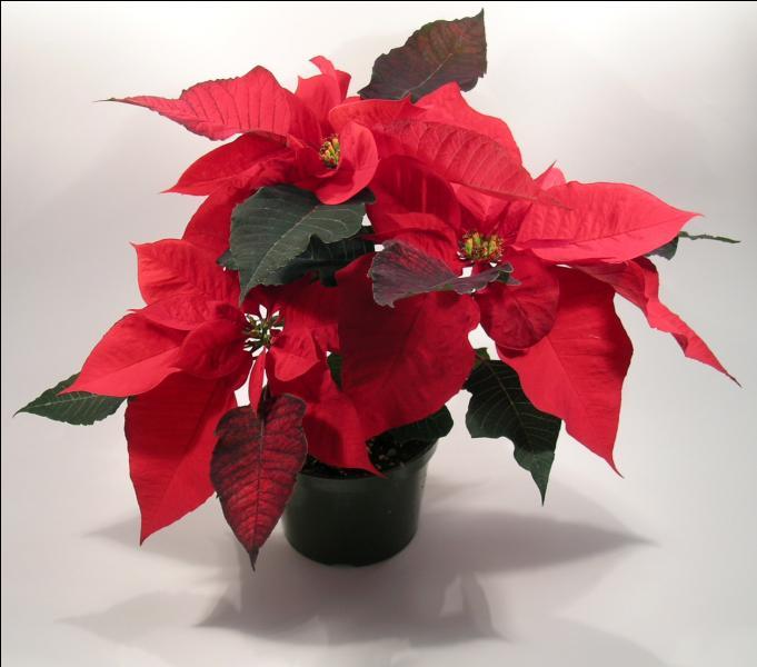 """On l'appelle """"Etoile de Noël"""", quel est son vrai nom ?"""