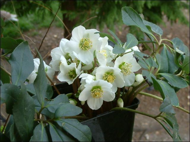 """On les appelle """"roses de noël"""" :"""
