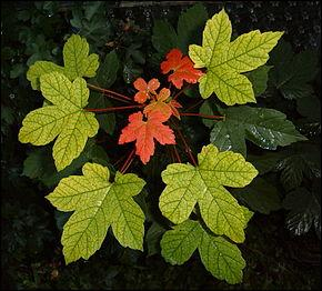 A quel arbre appartiennent ces jolies feuilles ?