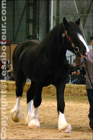 De quelle race est ce cheval de trait ?