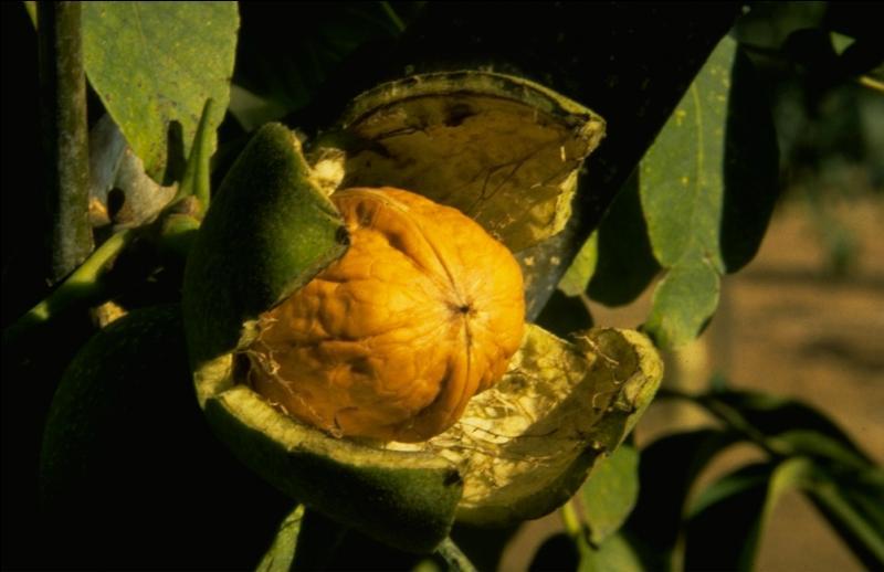 Quelle région est réputée pour la récolte de ce fruit en grande quantité ?
