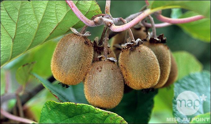 Ce fruit a besoin d'un climat doux en hiver et chaud en été. On le récolte à l'automne :