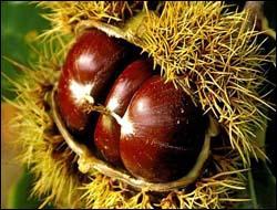 Chauds, ou en crème, vous les appréciez ! On les appelle marrons ! Mais sur quel arbre poussent les marrons comestibles ?