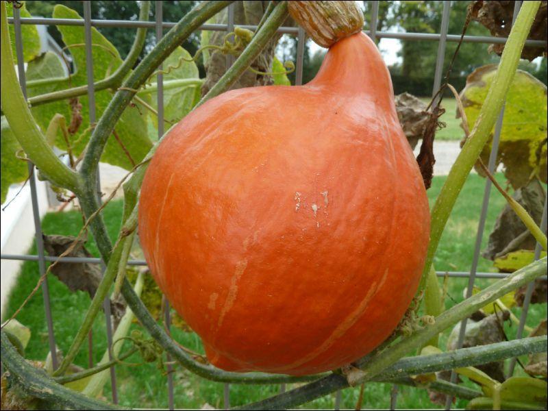 De la même famille, mais en forme de poire, quel est celui-ci ?