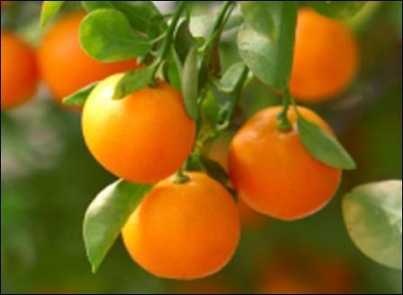 Quel est ce fruit porté par un arbre issu du croisement d'un bigaradier et d'un mandarinier ?