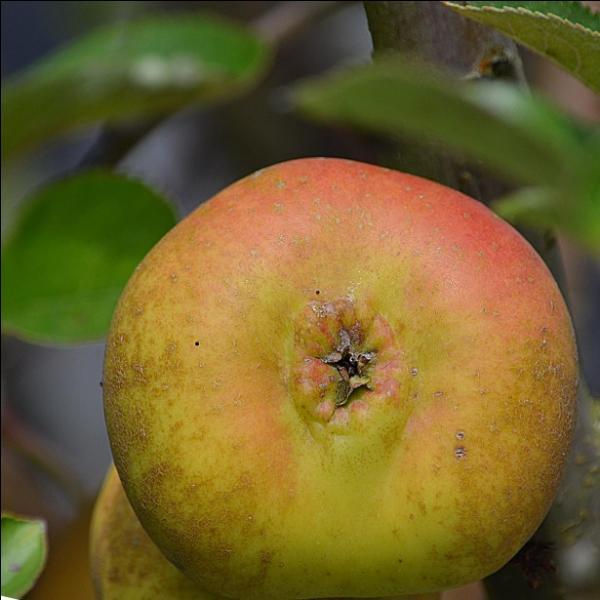C'est aussi le moment de cueillir les pommes, et voici un exemplaire de notre récolte :