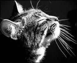 Combien de moustaches possèdent les chats ?