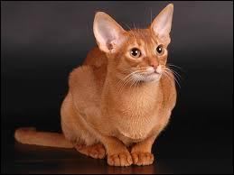 De quelle race est ce chat surnommé Bunny Cat (le chat-lapin) ?