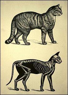 De combien d'os le squelette d'un chat est-il constitué ?
