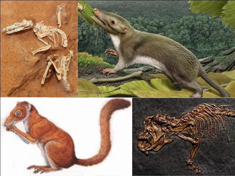 Il y a 230 millions d'années, environ, deux espèces nouvelles apparaissent. L'une d'elles disparaîtra, l'autre survivra et donnera les différentes espèces humaines, bien plus tard.Quelles sont-elles ?