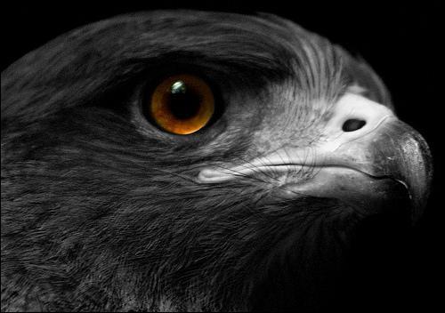 Voici l'aigle noir de Barbara : il avait les yeux ....