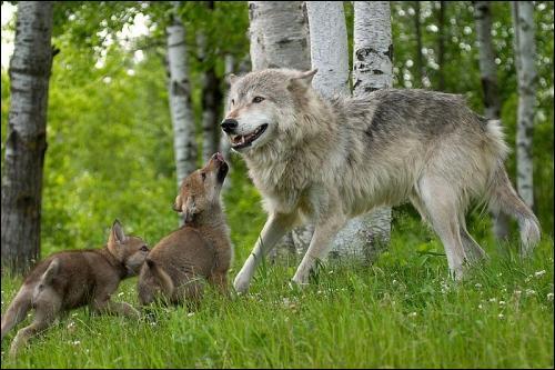 Une jeune louve de moins de six mois est une loupiote.