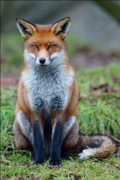 Le renard roux a un régime alimentaire exclusivement carnivore.
