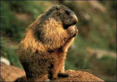 La marmotte hiberne pendant près de six mois.