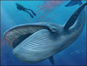 La baleine bleue n'est pas le plus gros animal au monde.