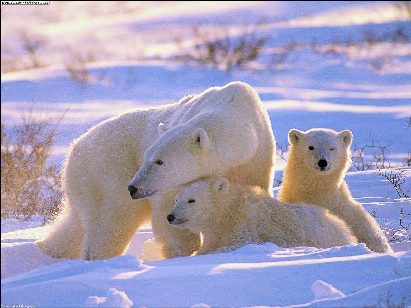 L'ours polaire est un mammifère marin dont la survie dépend de la banquise antarctique. Il chasse aussi bien sur la banquise que dans l'eau. (Un conseil : lisez attentivement les affirmations ! )