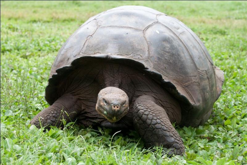 La tortue géante des Galápagos, surnommée tortue éléphantine, est la plus grosse espèce de tortues terrestres existant sur la planète.