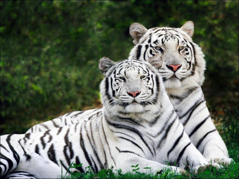 Le tigre blanc est un animal albinos.