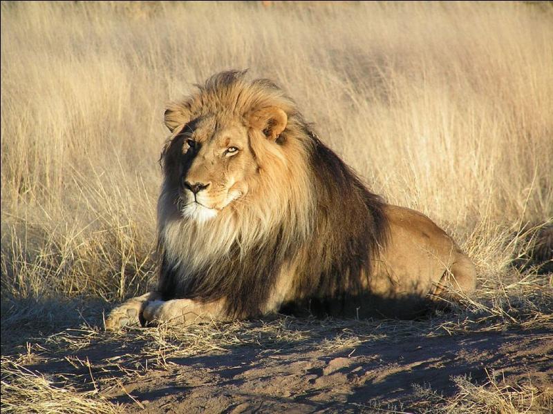 Le lion appartient à la famille des Félidés et vit dans un groupe familial.