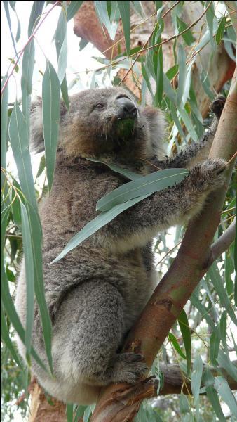 Le koala se nourrit de feuilles de bambou.
