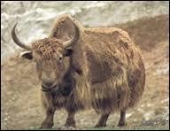 Autour de quelle chaîne de montagnes vivent les yack ?