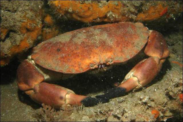 Des crabes du genre Cancer sont appelés...