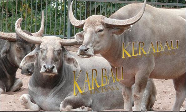 Ces buffles domestiques de Malaisie, aux cornes longues et très écartées sont...