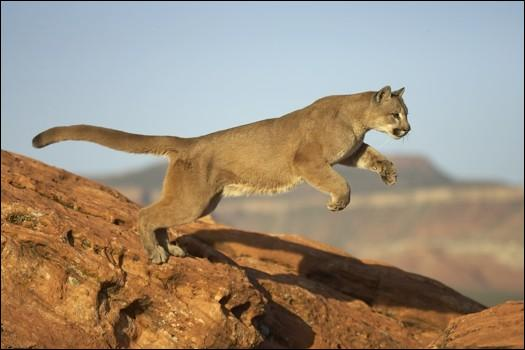 Le puma est un animal félin qui ressemble à un gros chat sauvage. Un de ces surnoms n'est pas le sien. Lequel ?